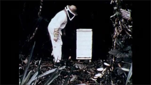 1970s: Researcher disturbs bee hive.