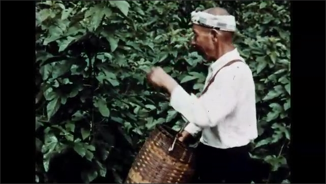 1960s: Man walking from house with basket, boy in background. Man walking on road. Man harvesting leaves from tree. Woman cutting leaves. Close up, hands cut leaves.