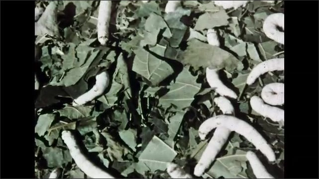 1960s: Man and woman with box, woman removes cover from box. Leaves in box. Close up of caterpillars in leaves. Woman and girls by box, woman puts leaves on caterpillars.