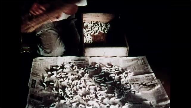 1960s: Man laying caterpillars on newspaper, puts mat over caterpillars.