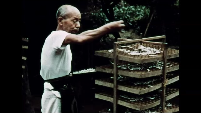 1960s: View of grass covering on box. Man putting caterpillars on wooden racks.
