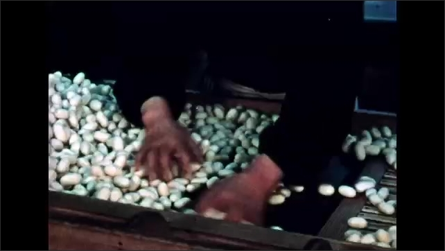 1960s: Woman in factory, puts cocoons in machine. Women sorting cocoons. Hands sorting cocoons. Woman adds and removes baskets from machine.
