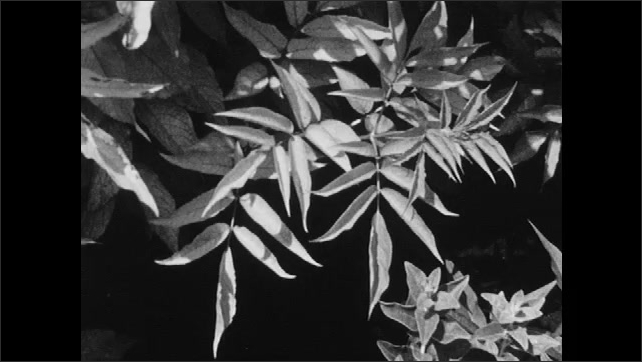 1960s: UNITED STATES: leaves on tree against sky. Flowers in meadow. Leaves in sunshine. Leaf shapes. Leaves on bush