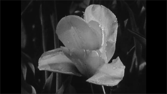 1960s: UNITED STATES: leaves on tree. Flowers and plants in nature. Shape and form of petals and flowers in nature