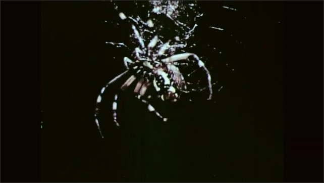 1950s:Spider at center or hub of web, spinning web in circles around hub.