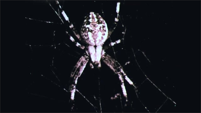 1970s: Spider climbs on tree branch. Spider sits in web. Arrow points to head and thorax of spider.