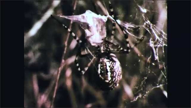 1970s: Spider wraps insect in web. Spider climbs on web in tree.