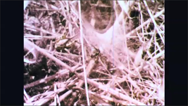 1970s: Grasshopper lands on thick web. Spider attacks grasshopper and injects poison into it.