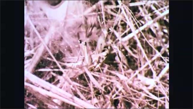 1970s: Spider repeatedly bites grasshopper. Spider drags grasshopper across thick web.