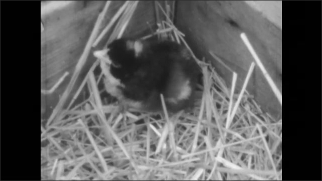 1940s: A chick hatching from an egg in a nest. The baby chick chirps in the hay. A woman crouches down to check on chicks in a brooder.