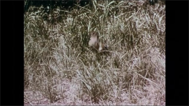 1950s: Squirrel scampers over rock to second squirrel, chases squirrel. Squirrels scamper along rock and grass. Squirrel jabs at reflection in a mirror on grass.