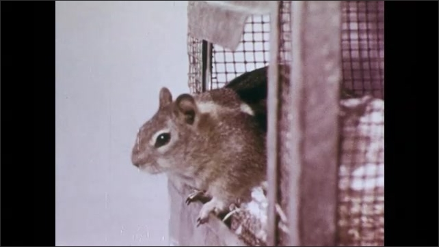 1950s: Hands set up long horizontal glass tube on stand, place nuts into one end. Squirrel watches from entrance of cage, jumps to tube, reaches nuts in tube using tongue.