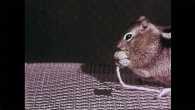1950s: Squirrel pulls string attached to nut up through hole in box, nibbles nut.