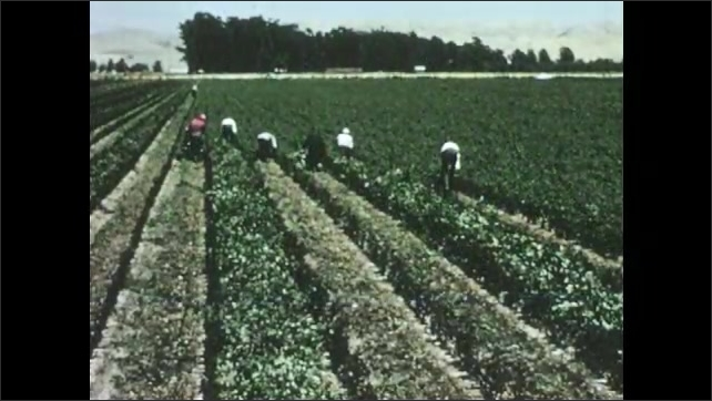 1950s: Water flows from irrigation pipes to trenches in rose crop. Men cut and pile rose bush tops from crop.