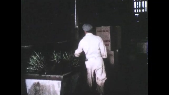 1950s: Men work in rose grading warehouse. Man removes bundle of cut rose bushes and packs them in box. Men lay divider on top of roses and push them deep into cardboard box.