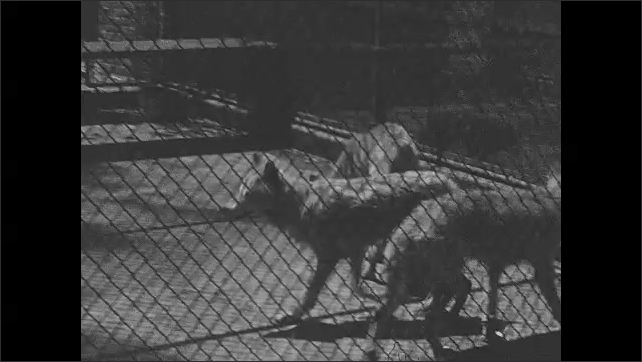1930s: UNITED STATES: wolf behind bars. People in park. Wolves pace floor in cage