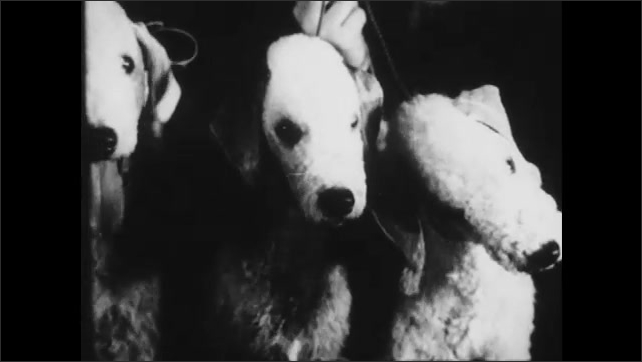 1940s: UNITED STATES: Bedlington Terriers look at camera. Bedlingtons look like Mary's little lamb. Staffordshire bull terrier. Dog tilts head. Dog in woman's dress