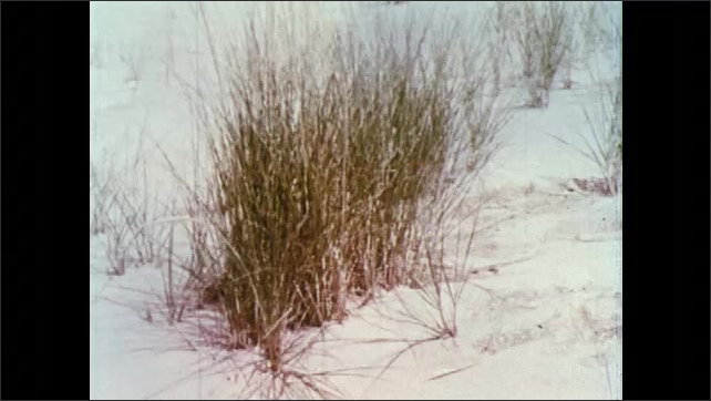 1960s: Seagrass in sand on beach. Cottonwood seedlings in sand on beach.
