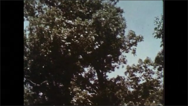 1960s: Opossum climbs tree branches. Trees and forest.
