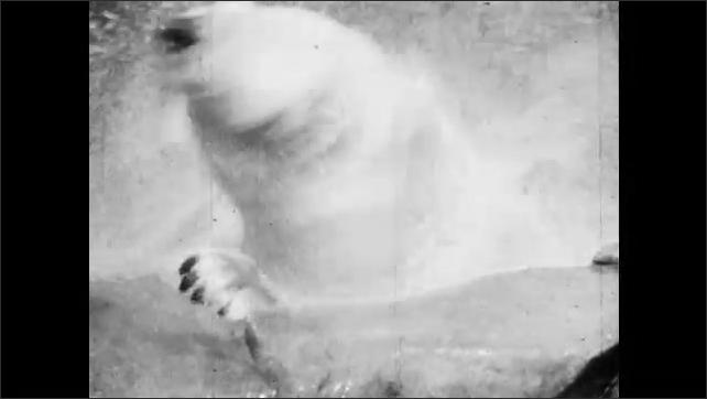 1950s: Polar bears walk around zoo enclosure. Polar bear lunges at polar bear. Polar bear dives into water and swims, shakes head. Polar bear catches ball in mouth.