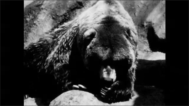1950s: Boy throws food to bear. Bear grabs food with mouth. Boy behind fence smiles. Bear licks and eats food.