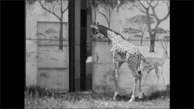 1950s: Giraffe stands by fence, eats leaves off tree. Baby giraffe emerges from den, walks across enclosure, eats grass.