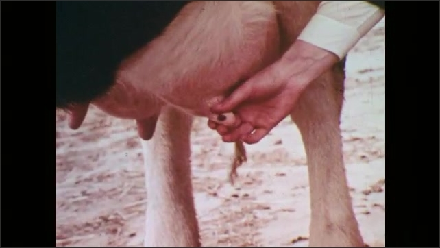 1970s: Boy squeezes cow's udder. Man shows boy how to squeeze cow's udder.