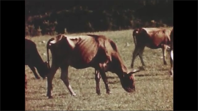 1950s: UNITED STATES: cows eat grass in field. Thin cows in field