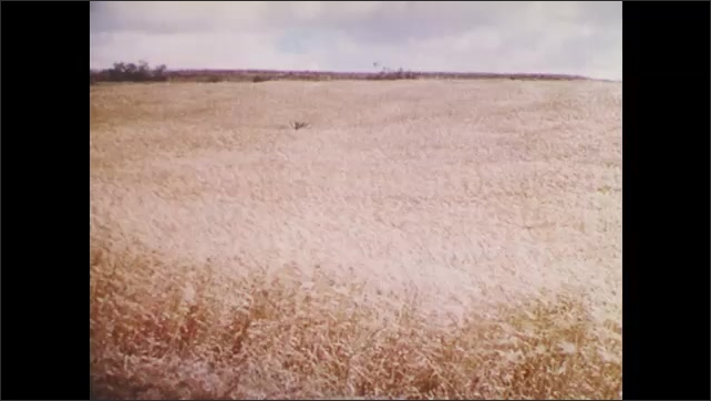 1960s: UNITED STATES: farmer in wheat field. Wheat rust. Men look at damaged crops. Crop image to rust. Hybrid and genetically bred corn.