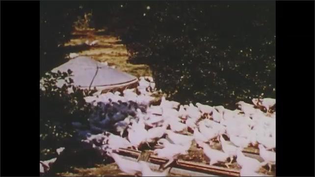 1960s: UNITED STATES: corn crops on conveyor belt. Poultry on farm. Eggs on conveyor. Hogs in fields.