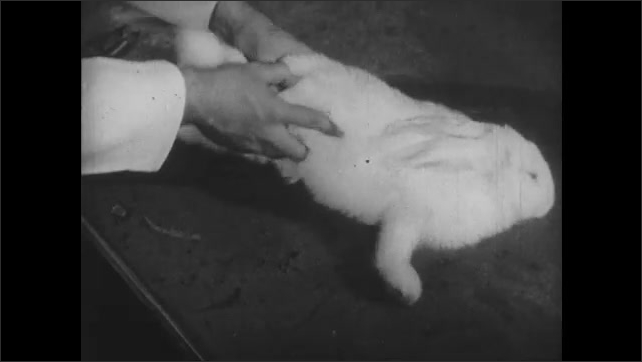 1950s: UNITED STATES: rabbit on table. Hand pats rabbit on table. Rabbit convulses after injection of nicotine.