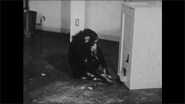1930s: Chimpanzee eats orange slice. Chimp in cage lifts lever and retrieves poker chip. Chimp leaves cage and interacts with hopper. Chimp eats orange slice near hopper.