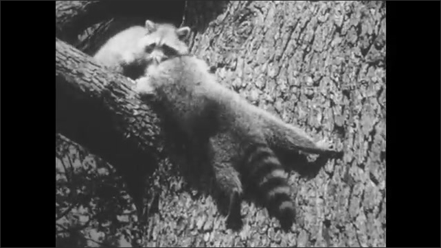 1950s: Raccoons climb tree and sit in tree