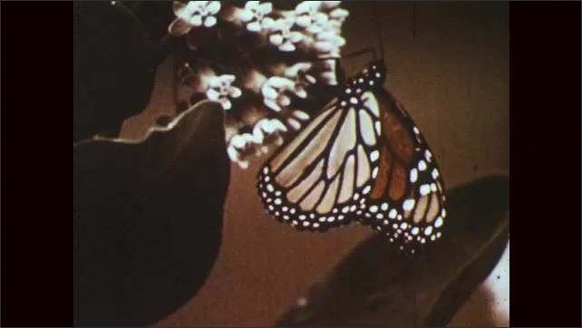 1960s: Monarch butterfly hangs from leaf and flaps wings. Butterfly crawls on flowers. Butterflies flap wings on flowering bushes.