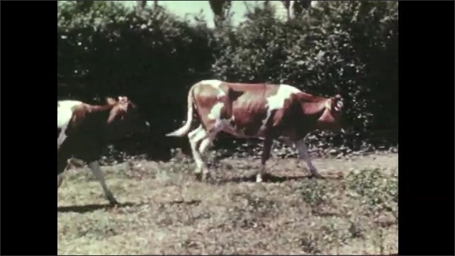 1950s: Heifer wags tail and walks near fence. Heifer calves walk in field. Farmer pours feed into trough. Heifer calves eat from trough.