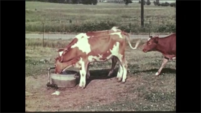 1950s: Guernsey calves gather around water faucet and drinking trough. Calves drink from water trough.