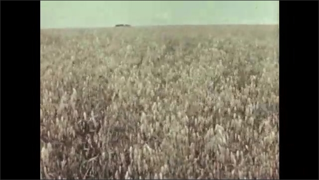 1950s: Field of oats wave in the breeze. Oat plants ripe with seeds.