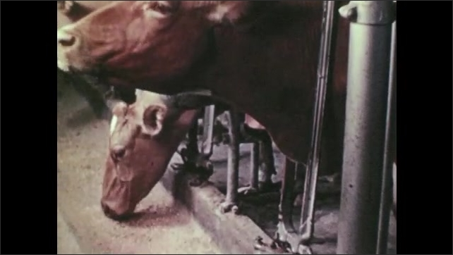 1950s: Farmers dump buckets of feed into trough. Cows feed from stanchion trough. Man brushes and cleans cow. Cows feed at trough.