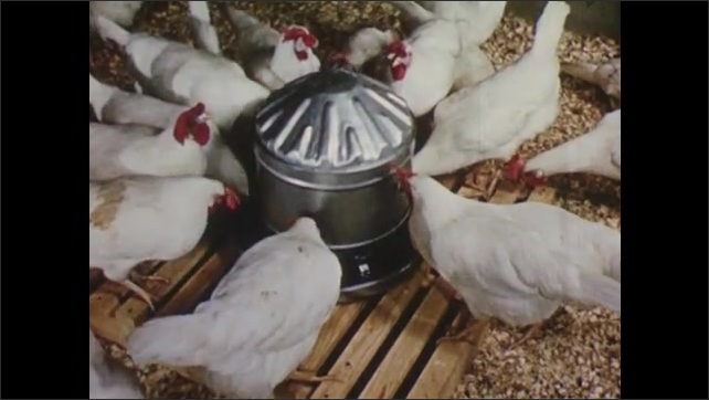 1950s: Woman gathering eggs in chicken coop. Shots of chickens eating at feeders. View of vent opening.