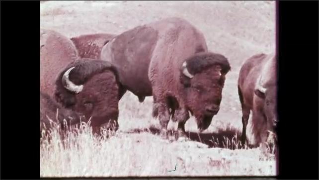 1950s: Mountains.  Buffaloes graze in field.