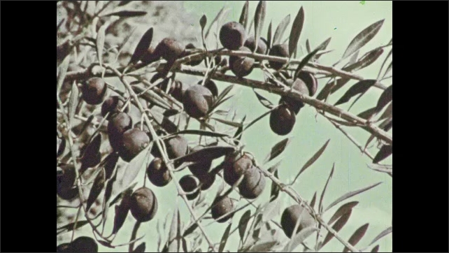 1970s: View of trees. Close up of branches. Olives on tree. Pan across tree. Clos eup of flowers.
