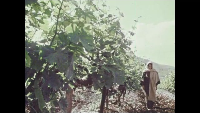 1970s: Close up of rock carving. Close up of leaves. View of vines. Woman walking next to vines, pan to leaves. Close ups of grapes.