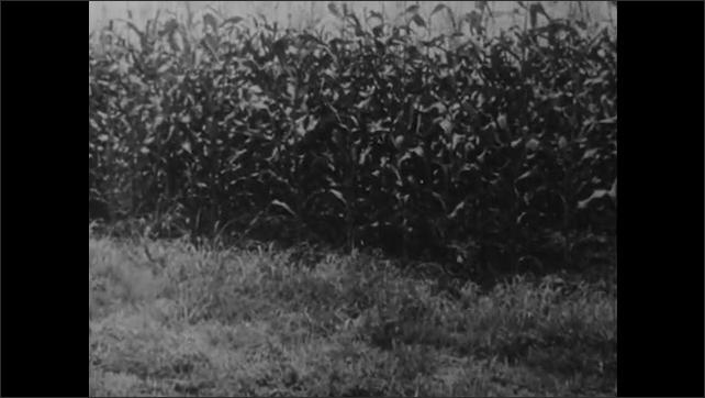1950s: Farmers pick potatoes in field. Water runs down drainage ditch near corn field. Mules pull farmer on tractor near crop field. Drainage and watershed channels. Channel drains water into sea.