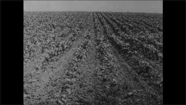 1950s: Trees stand near farmhouse and old church. Horses pull wagon of hay across field. Young corn plants in crop field. Cracked earth and dead plants in corn field.