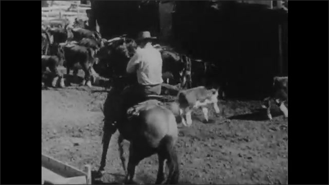 1950s: Cows stand near manmade pond on ranch. Rancher leads horse to pond for drink. Rancher on horseback lassos calf in crowded cow pen. Cowboys herd cows up hill.