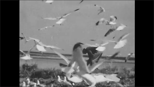 1940s: Man stands on beach, bends down next to ocean, seagulls fly around. Sandpiper stands at shoreline.