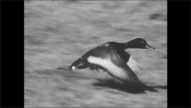 1940s: Ducks flies through air. Duck runs on ground, flaps wings, takes flight.