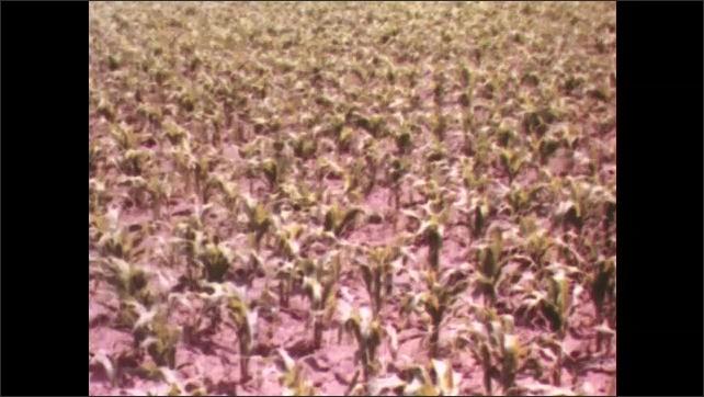 1950s: UNITED STATES: crops in field. Man walks behind donkey on field. Crops grow in field. Corn and barley in field. Workers in fields.