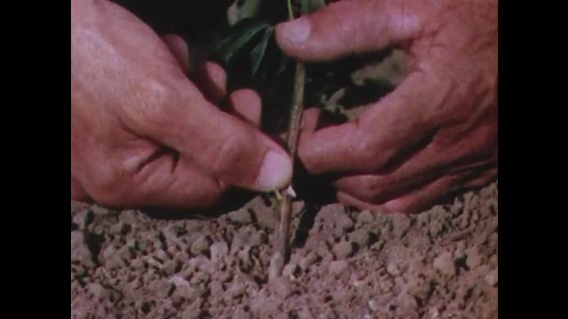 1950s: man scrapes knife blade against stem of small plant in dirt. men in hats check leaves and berries on tree branches. scientist inspects and cuts bush in field.