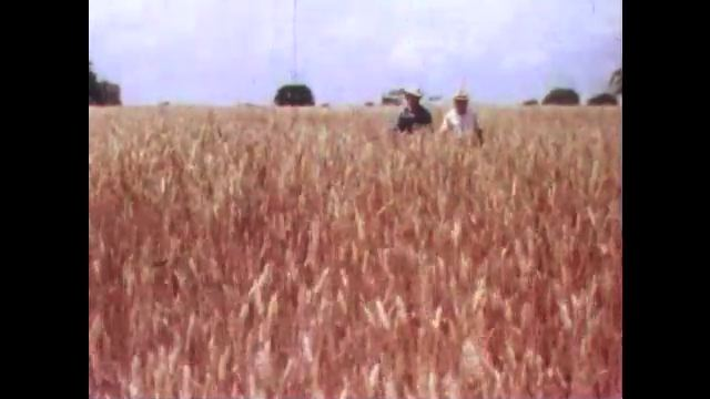 1950s: men with hats talk, point, walk around wheat field, pick plants, inspect grains and observe on countryside farm.